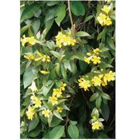 オンリーワン 長尺ツル性植物 カロライナジャスミン KJ6-TKRJ