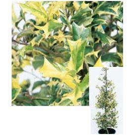 オンリーワン 植栽・美しい葉 ホーリー・オースプリング UN6-THOS