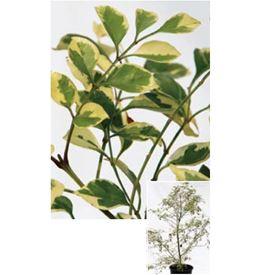 オンリーワン 植栽・美しい葉 シマトネリコ(斑入り) UN6-TSTF