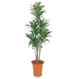 『人工植栽』 タカショー グリーンデコ鉢付 ドラセナ 1.2m GD-187