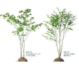 オンリーワン 植栽・樹形美 ツリバナ KJ6-TJT