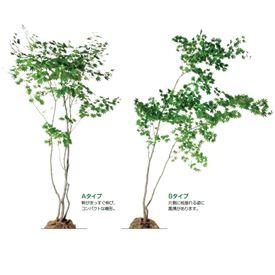 オンリーワン 植栽・樹形美 ハウチワカエデ UN6-TJH