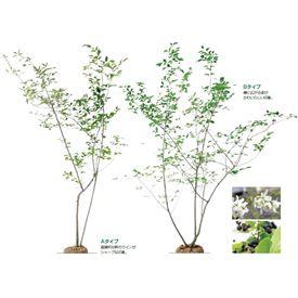 オンリーワン 植栽・樹形美 ジューンベリー UN6-TJJ