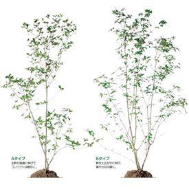 オンリーワン 植栽・樹形美 オトコヨウゾメ KJ6-TJO