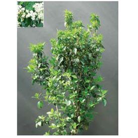 オンリーワン 植栽・美しい花 ビバーナム・ティヌス KJ6-TUBN