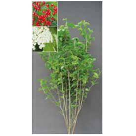 オンリーワン 植栽・美しい花 ガマズミ KJ6-TUGZ