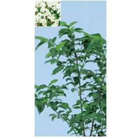 オンリーワン 植栽・美しい花 ハクサンボク UN6-TUHB
