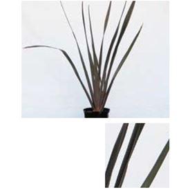 オンリーワン 植栽・個性派植物 ニューサイラン・パープレア  UN6-TNSP