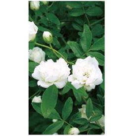 『欠品中 次回秋以降入荷』オンリーワン 長尺ツル性植物 モッコウバラ(白) WP6-TMKBS