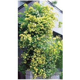 『欠品中 次回秋以降入荷』 オンリーワン 長尺ツル性植物 モッコウバラ(黄) WP6-TMKBK