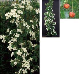 オンリーワン 植栽・美しい花 ホンコンヤマボウシ(常緑) KJ6-THKY