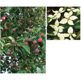 オンリーワン 植栽・美しい花 ホンコンヤマボウシ(常緑)・月光(株立) UN6-THKY