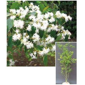 オンリーワン 植栽・美しい花 ハイノキ KJ6-THIK