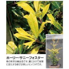オンリーワン 植栽・美しい葉 ホーリー・サニーフォスター UN6-THAF