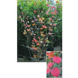 オンリーワン 植栽・美しい葉 マルバノキ WP6-TNBK