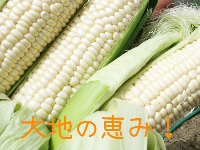 Hokkaido white corn farm fresh! Morning picked a nostalgia limited edition! Fresh or delicious fruit tumorokosh. producing direct touch VI! From mid-August * harvest soon, ordered will be shipped
