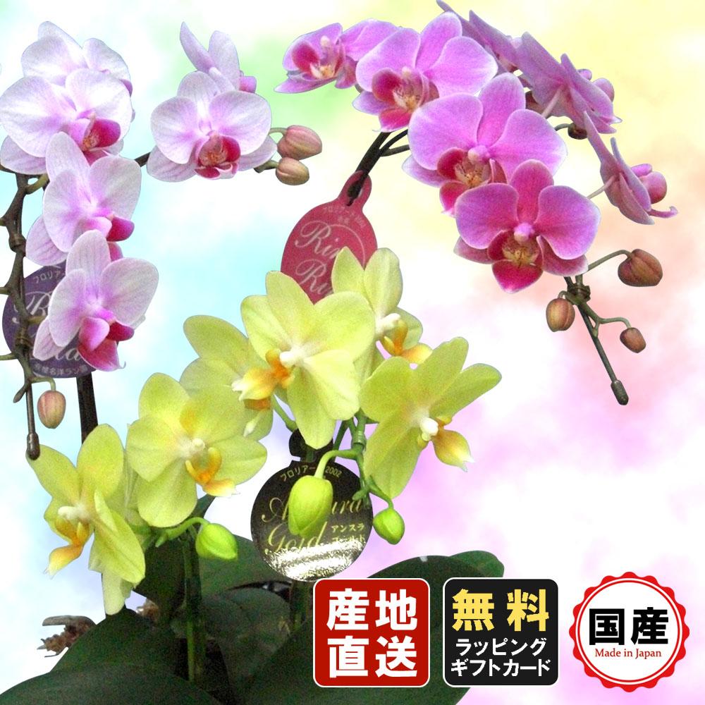 ミニ胡蝶蘭 ギフト 5.5号鉢 3色ミックス/お花 プレゼント 生花 鉢植え 開店祝い 母の日 父の日 敬老の日 おじいちゃん おばあちゃん お祝い 贈り物