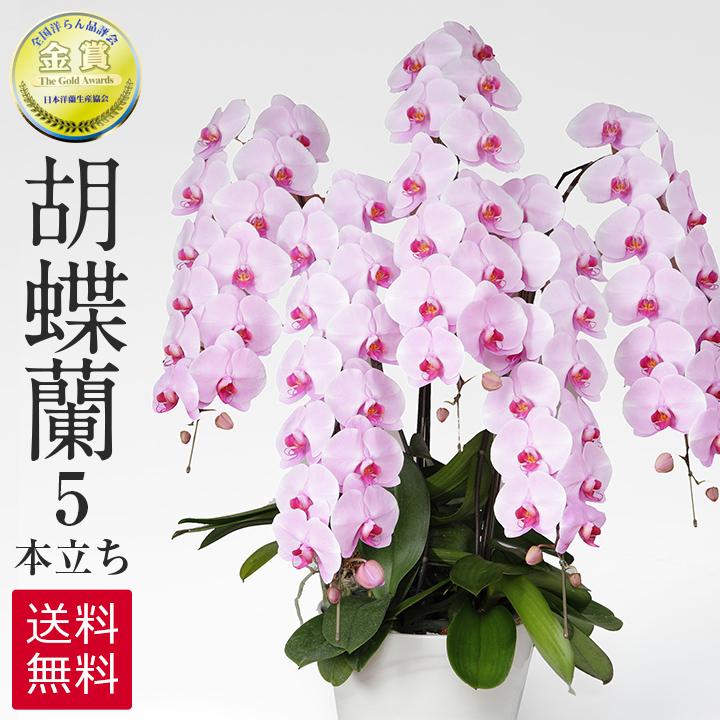 胡蝶蘭 ピンク 5本立ち 60-70輪 ラッピング 送料無料 お祝い 開店祝い 開業祝い 贈り物 大きい 抜群の花持ちの良さ 花の仕立ての美しさ