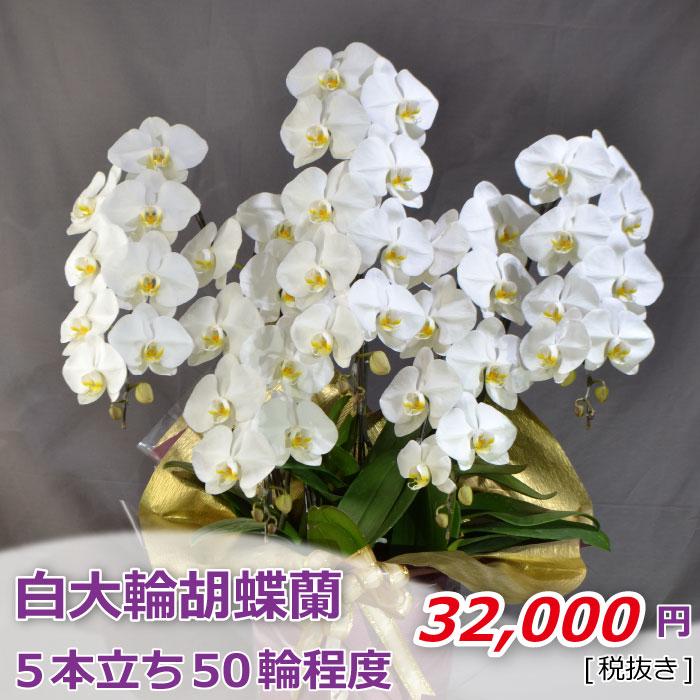 胡蝶蘭 白 大輪 5本立ち50輪程度 つぼみ含む【開店祝い お祝い 開業】