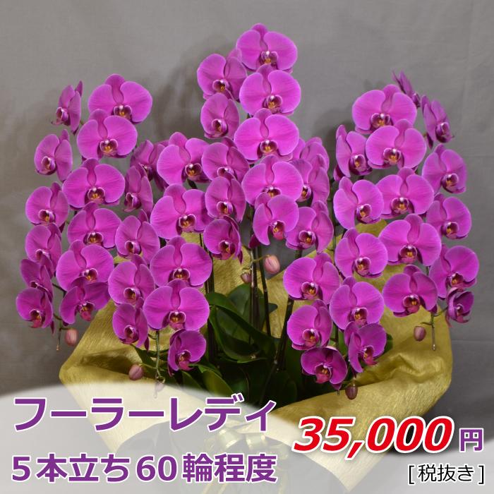 胡蝶蘭 大輪 濃ピンク フーラーレディ 5本立ち 60輪程度 つぼみ含む【お花 フラワーギフト お祝い プレゼント】
