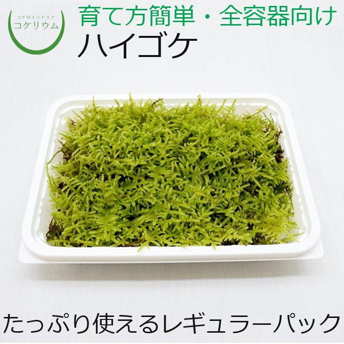 明るい緑色の三角形の葉が地面に這うように成長します。日本ではよく見られるポピュラーな種類です。 【テラリウム コケリウム 苔玉 苔 コケ 苔テラリウム 苔リウム アクアリウム アクアテラリウム 観葉植物 園芸 ハイドロカルチャー ガーデニング グリーン インテリア 緑 苔盆栽 癒し moss 初心者 パック】 ハイゴケ