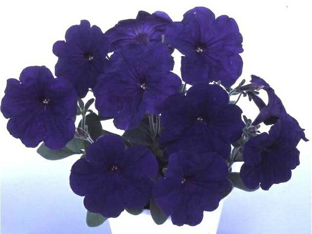 本物 あふれる花 国産品 上品でエレガントな花色 ペチュニア ブルー 中輪系 9センチポット 3号 マルチフローラ系 苗