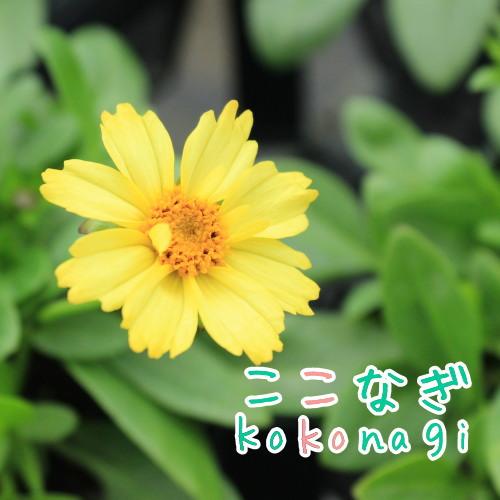 元気な色のおすすめ品種 コレオプシス 割り引き 日本正規代理店品 ソランナ 3.5号 グロー 10.5センチポット