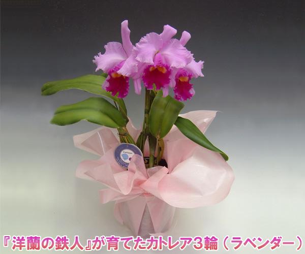 【送料無料・産地直送】『洋蘭の鉄人』森田氏が育てたカトレア3輪 ※花持ち期間は約1週間です。花色は季節によって多少異なります。 【楽ギフ_包装選択】【楽ギフ_メッセ入力】出荷までお時間を頂く場合がございます。