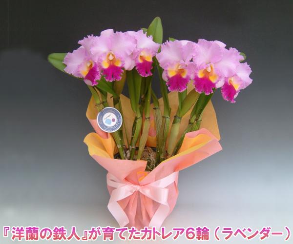 【産地直送・送料無料!】『洋蘭の鉄人』森田氏が育てたカトレア6輪 ※花持ち期間は約1週間です。花色は季節によって多少異なります。 【楽ギフ_包装選択】【楽ギフ_メッセ入力】出荷までお時間を頂く場合がございます。