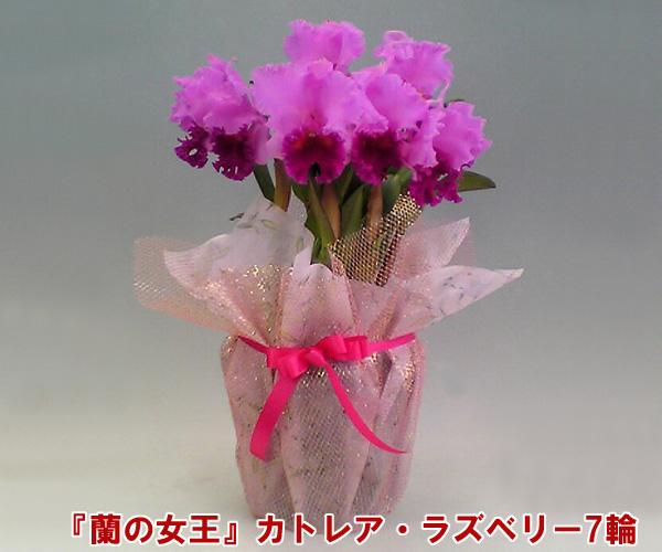 【産地直送でお届け!】『蘭の女王』カトレア 7輪 インパクト大!最高級の洋蘭です。 【楽ギフ_包装選択】【楽ギフ_メッセ入力】出荷までお時間を頂く場合がございます。