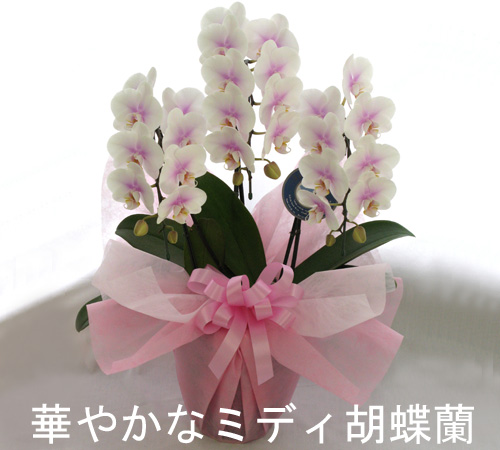 可愛い色のミディーサイズ胡蝶蘭3本立ち(24リン前後・つぼみ含む)/ファーストラブ ※つぼみ多めでの出荷となります。