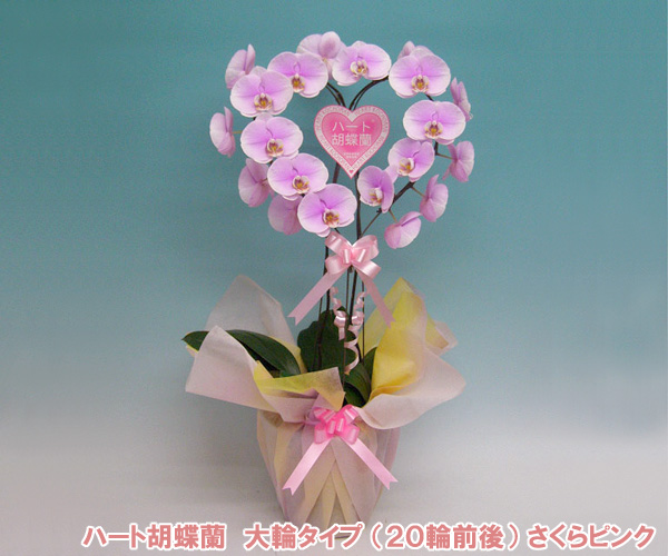 『幸福が飛んでくる』ハート胡蝶蘭・大輪 さくらピンク 『2010年名古屋国際蘭展』最優秀賞&グランプリを受賞したスズキラン園から産地直送! 結婚祝いや結婚記念日におすすめです♪