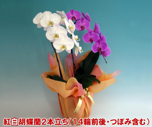 母の日ギフト 送料無料 縁起の良い紅白大輪胡蝶蘭2本立ち(14輪前後つぼみ含む) ※お届け日の指定は承る事が出来ません。