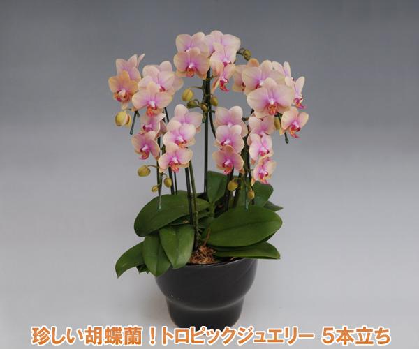 珍しくて可愛い色のミディーサイズ胡蝶蘭5本立ち(35リン前後・つぼみ含む)/トロピックジュエリー