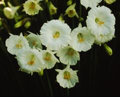 オリジナル品種 ペチコートスイセン 水仙 バルボコジューム 10%OFF '白雪姫' 5球 球根 高額売筋