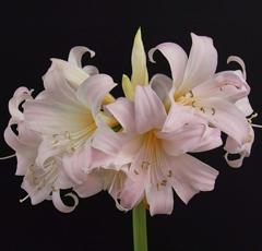 オリジナル品種 お買い得 芳香あり ベラドンナリリー'八重桜'球根 驚きの価格が実現 1球