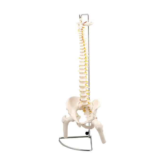 脊柱模型 大腿骨付 人間 骨 人骨 模型 標本 体 身体 しくみ 理科 科学 生物学 研究 学習 参考 授業 フィギュア アーテック 9710