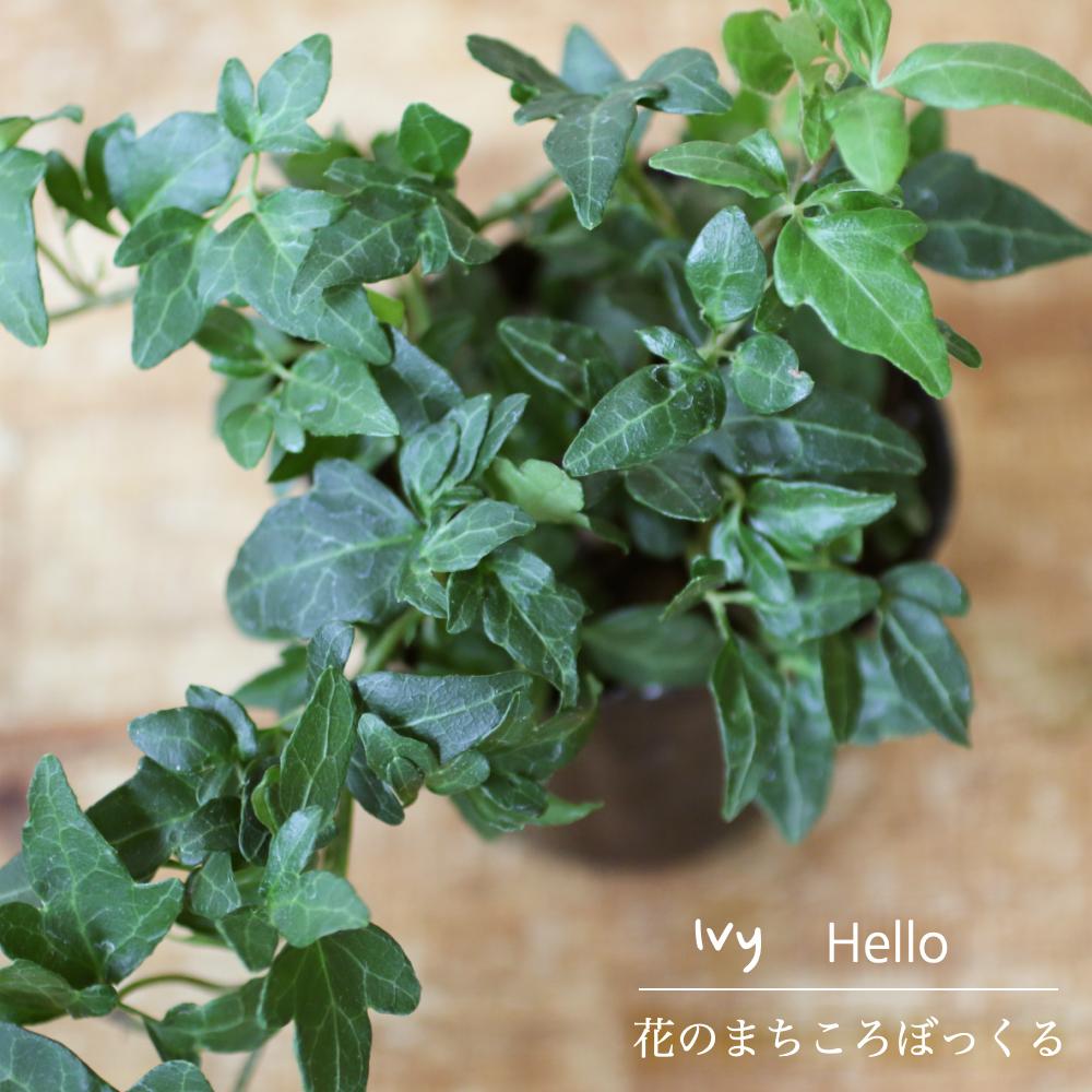 蔵 小ぶりな葉っぱと多めの蔓が元気をくれる 花のまちころぼっくる アイビー ヘデラ ハロー 3寸ポット苗 訳あり品送料無料 風水効果 ちっちゃな葉っぱがチャーミングな印象ガーデニング 育てやすい 庭づくり グリーンリース