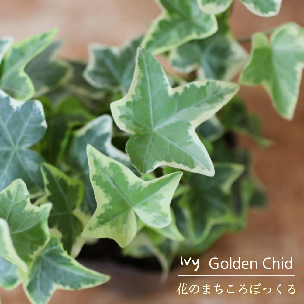 部屋におくだけで存在感が充分なアイビー 【花のまちころぼっくる】【アイビー ヘデラ】ゴールデンチャイルド(3寸ポット苗)ガーデニング・庭づくり・風水効果・グリーンリース観葉植物・インテリア・アレンジ・育てやすい