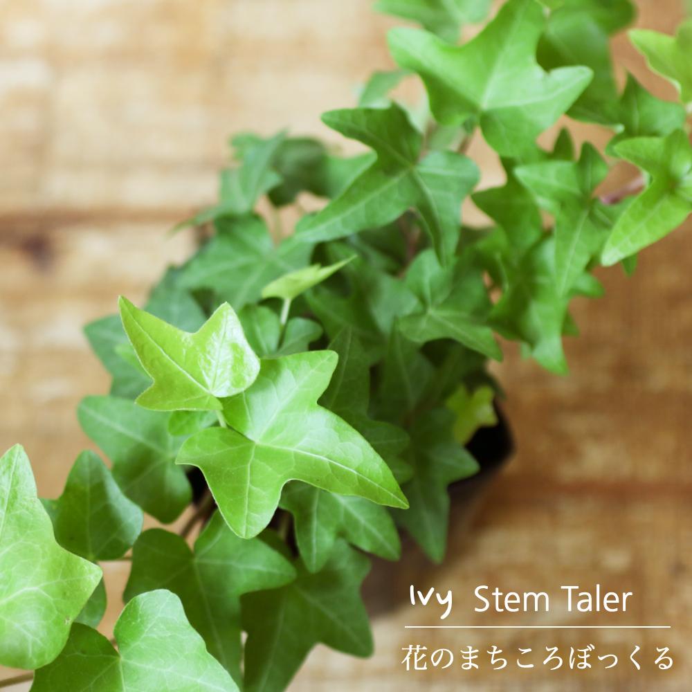 ライトグリーンの葉が清々しいアイビー 花のまちころぼっくる 贈呈 アイビー 2020新作 ヘデラ スターンテイラー 3寸ポット苗 ガーデニング アレンジ 風水効果 庭づくり インテリア グリーンリース観葉植物 育てやすい