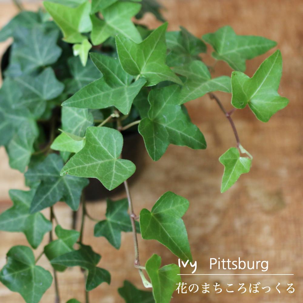 スピード対応 日本メーカー新品 全国送料無料 言わずと知れたアイビーの定番です 花のまちころぼっくる アイビー ヘデラ ピッツバーグ 3寸ポット苗 ガーデニング インテリア グリーンリース観葉植物 育てやすい アレンジ 庭づくり 風水効果