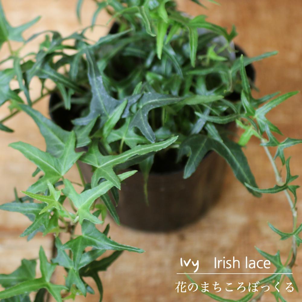 まるでレースの様な繊細な雰囲気のアイビー 現金特価 花のまちころぼっくる アイビー ヘデラ アイリッシュレース 3寸ポット苗 ガーデニング 庭づくり 育てやすい グリーンリース観葉植物 インテリア 風水効果 爆売り アレンジ