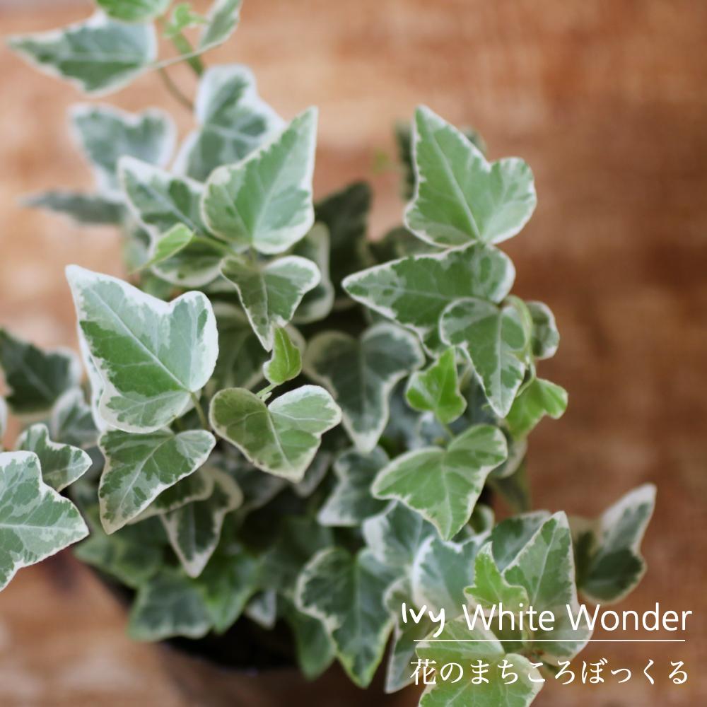 可愛らしさNO.1の雰囲気をもつアイビー 花のまちころぼっくる アイビー ヘデラ 激安格安割引情報満載 ホワイトワンダー 3寸ポット苗 ガーデニング 風水効果 インテリア グリーンリース観葉植物 庭づくり アレンジ 育てやすい ランキングTOP5