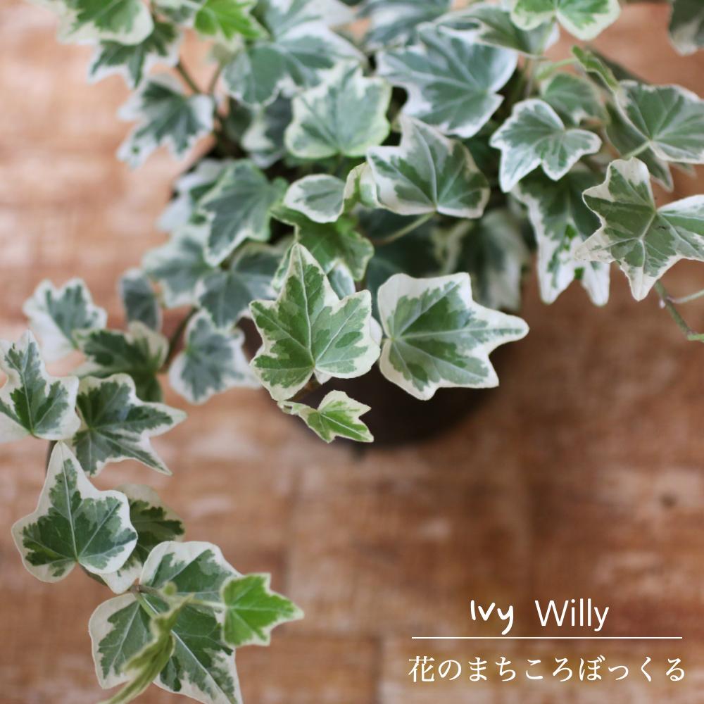 上品な白の班がグリーンを引き立たせる 花のまちころぼっくる 販売実績No.1 アイビー ヘデラ ウィリー 3寸ポット苗 ガーデニング 庭づくり 付与 グリーンリース観葉植物 アレンジ 育てやすい インテリア 風水効果