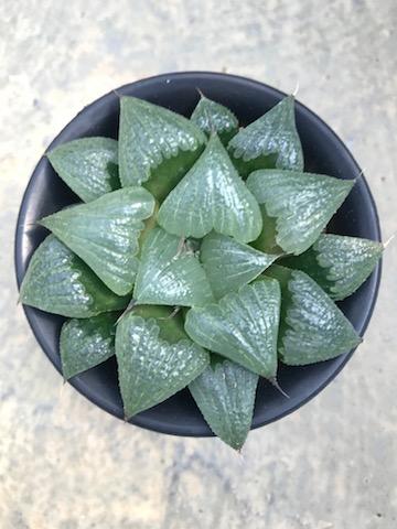 ハオルチア属 古都姫x花麦 3.5寸鉢 サボテン 多肉植物 希少【送料無料】
