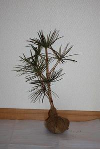 高野槇(コウヤマキ)苗木 約40cm×10本