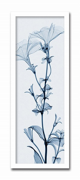 「Tall Petunia」【X-ray Photograph】Steven N.Meyers(エックスレイ フォトグラフ インテリアアートフレーム)[絵画通販]【絵のある暮らし】【壁掛けフックつき】