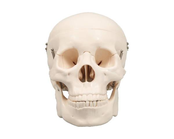 9700 頭蓋骨模型【アーテック】