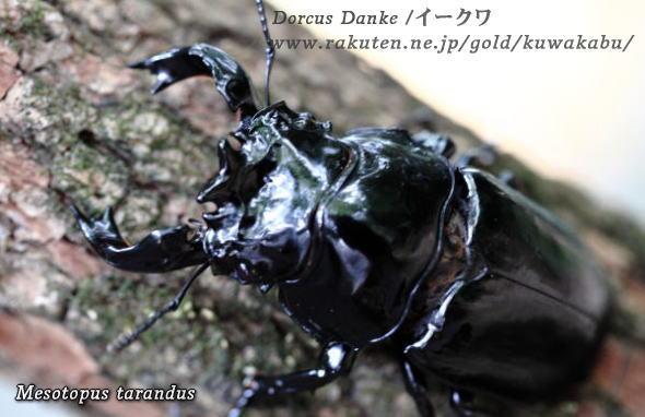 【ブリード】タランドゥスオオツヤクワガタ成虫♂79mmペア★♂♀3月羽化