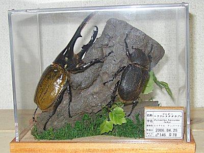 (012)リッキーヘラクレスオオカブトムシ 昆虫立体標本